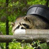 Raccoon-Removal-Company
