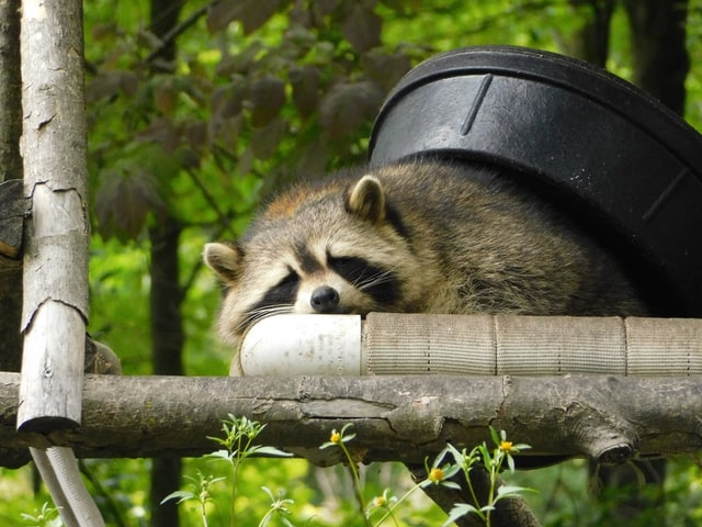 Tips to Find the Best Raccoon Removal Company